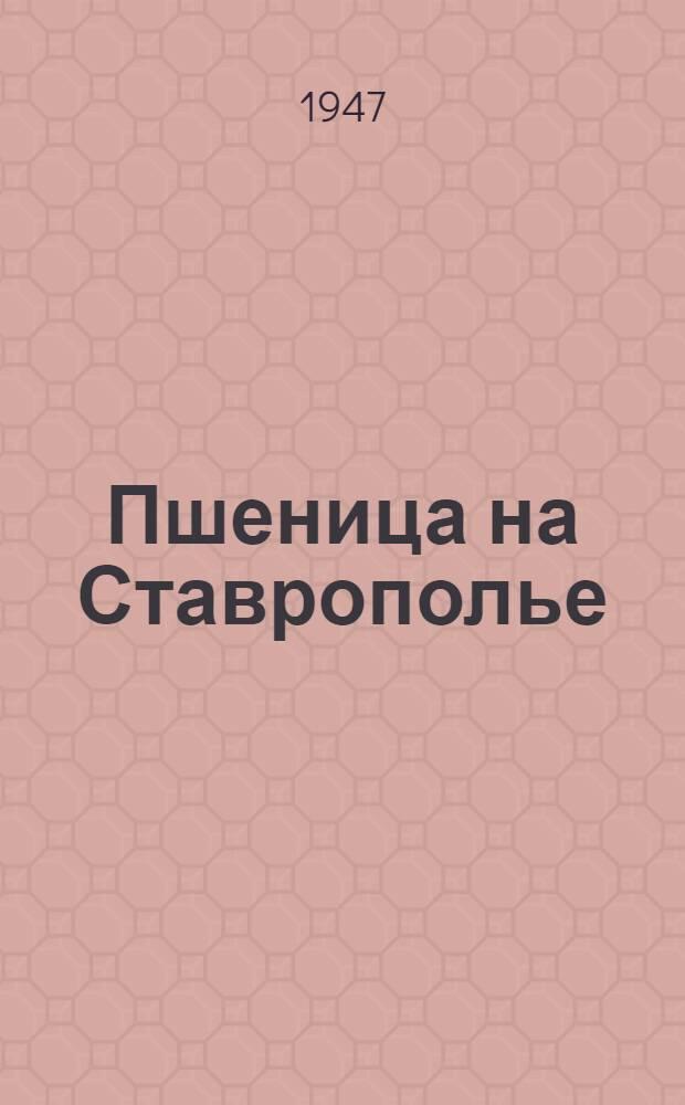 Пшеница на Ставрополье